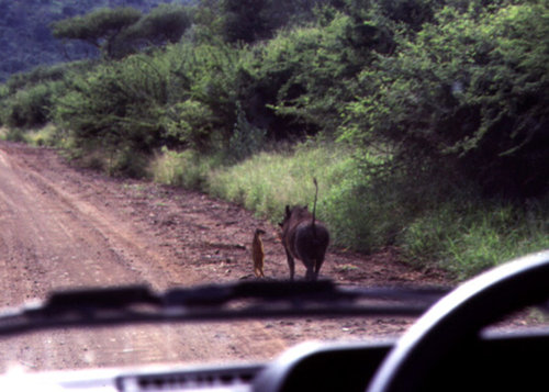 Timon and Pumba Sighting not Guaranteed